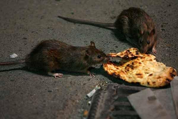 مراقب موش ها در روزهای کرونایی باشید