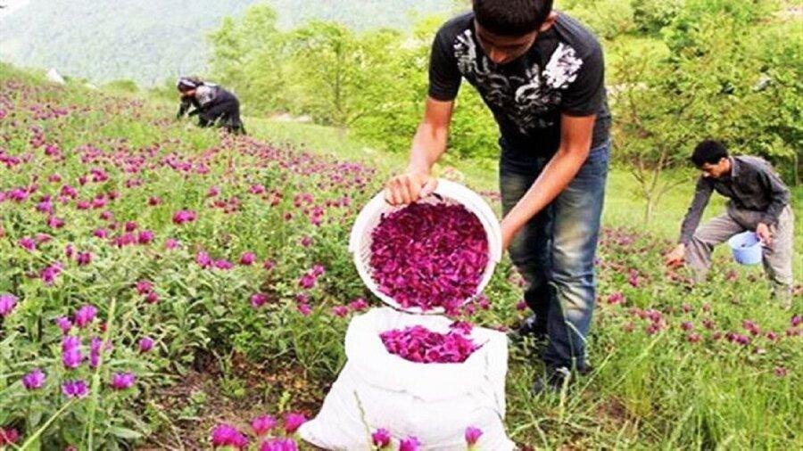 793 هکتار به مزارع گیاهان دارویی سمنان اضافه شد
