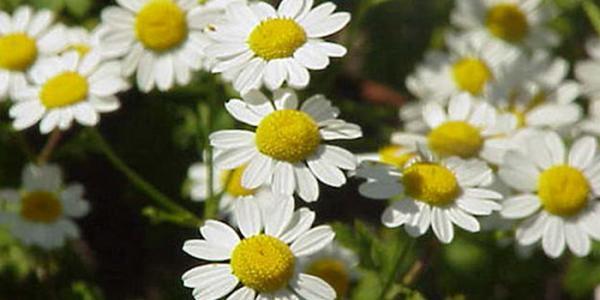 خواص درمانی گیاه مخلصه و موارد مصرف آن