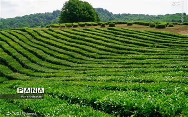 مبارزه با علف ها هرز در سطح 4 میلیون هکتار از مزارع کشور